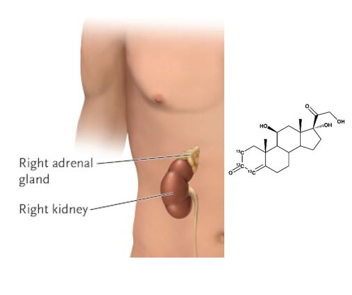 cortisol is made in the adrenal glands