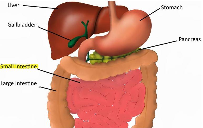 intestine health