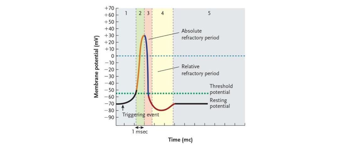 action potentials graded potentials