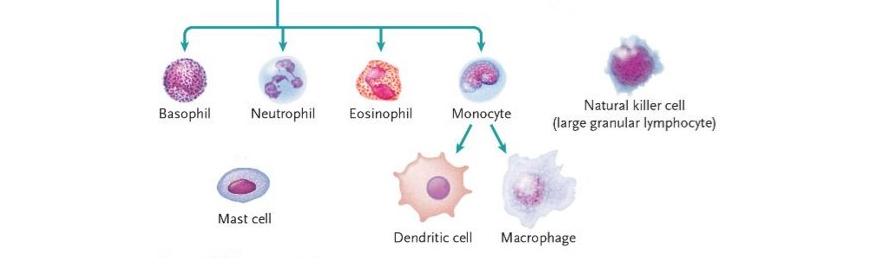Innate Immune cells