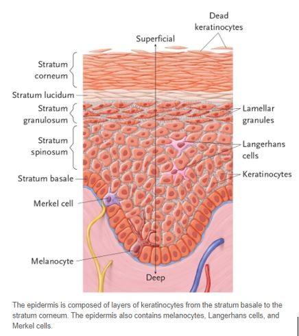 skin epidermis
